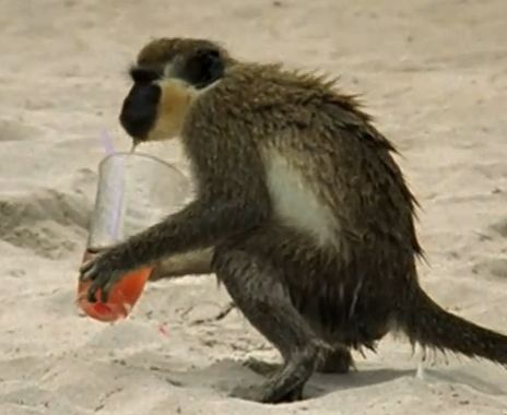 Monkeys can also appreciate a good glass of alcohol.