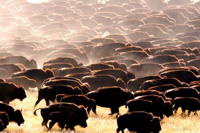 According to the buffalo theory large amounts of alcohol are good for the brain.