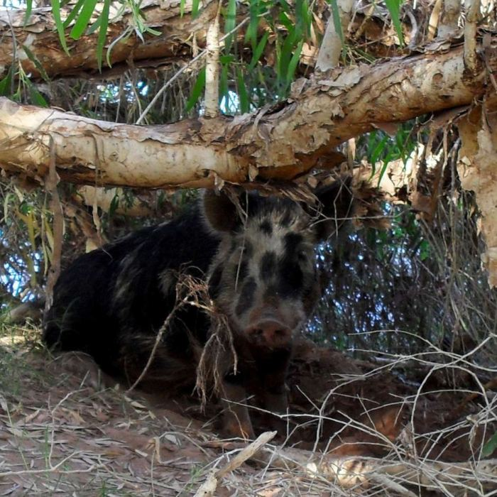The wild hog that drunk 18 cans of beer, before getting into a fight with a cow.