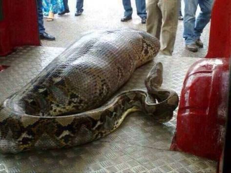 Python eats drunk man in India Lords of the Drinks
