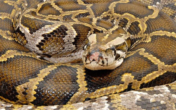 The main question:  can a python swallow a passed out drunk?