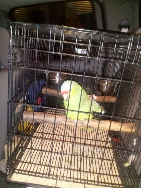 The first parrot ever to be locked up in a drunk tank.