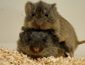Prairy voles chose one partner for life.