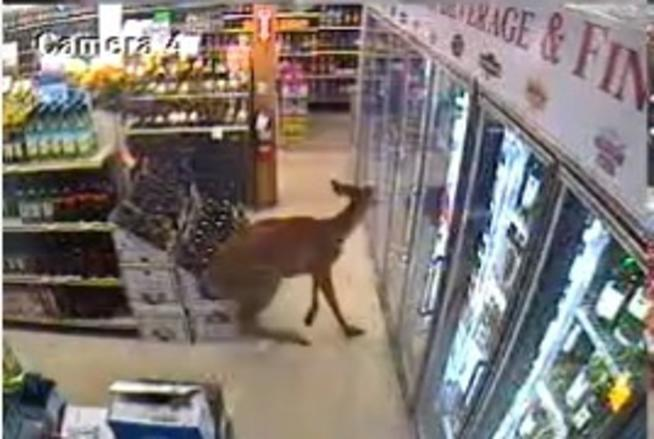 The deer caught on a security camera while checking out the beer section.
