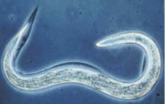 The worm that is immune to alcohol: Caenorhabditis Elegans.
