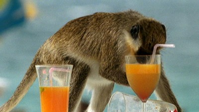 Monkey robbing tourists of their cocktails.