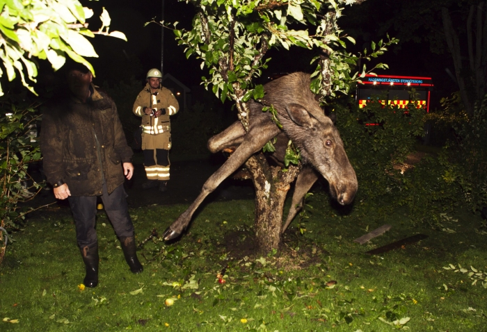 This moose got himself stuck after eating too many fermented apples.