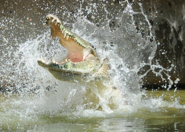A crocodile attack is quite powerful. Being intoxicated may actually save your life here.