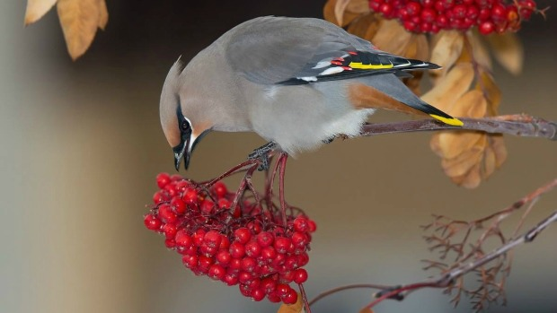A Bohemian waxwing eats only fruit and can therfor get quite drunk sometimes.