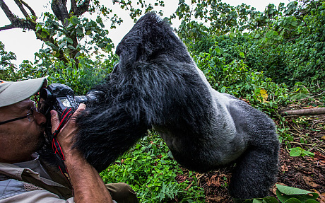 Photographer Christophe Courteau is knocked over by a silverback gorilla. Photo: Christophe Vasselin.