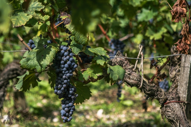 These grapes are transformed at Château Margaux into oneof the finest wines in the world. Therefor it received the First Grow status. Reason for Francis Saltus Saltus to make a poem about Château Margaux.